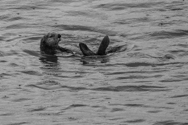 Die sind mal cool die Seeotter