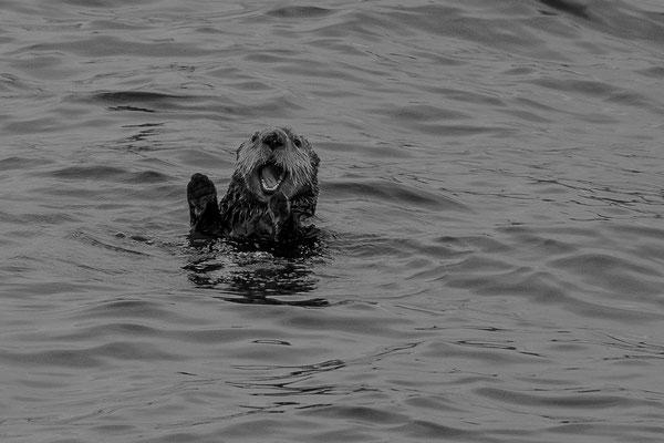 Freche Seeotter tauchen immer wieder neben dem Schiff auf