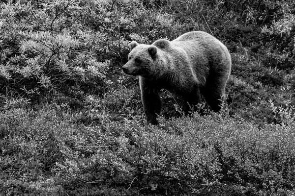 Denali Nationalpark Alaska - 40