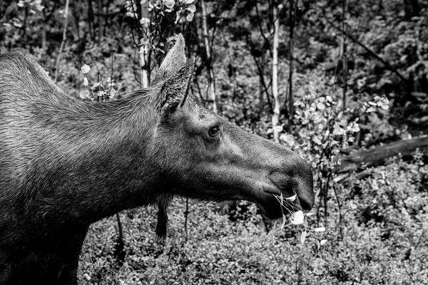 Denali Nationalpark Alaska - 25