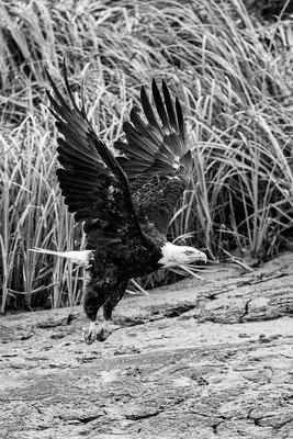 Seeadler am Kenai River 3