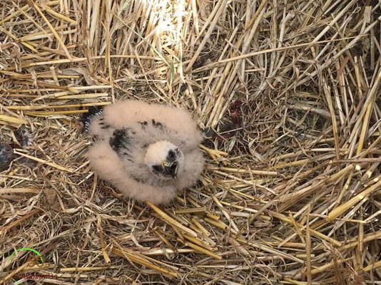 Young Montagu's Harrier in the protected nest in the middle of a harvested field -- © Jim Schmitz