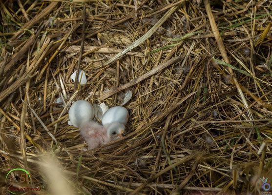 Chick that hatched some hours ago and two more eggs-- © Charel Klein