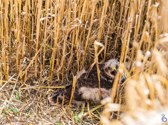 Young Montagu's Harrier are hiding in the protected nest -- © Charel Klein