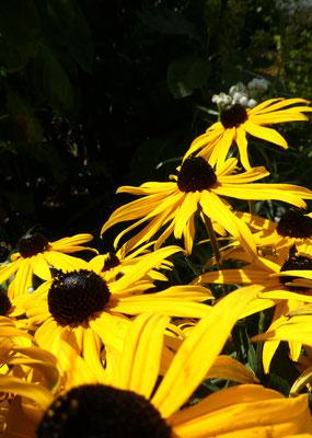 gelb-schwarzer Sonnenhut