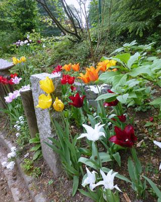 Tulpen im Steingarten