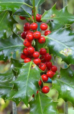 Ilex, Stechpalme mit roten Beeren