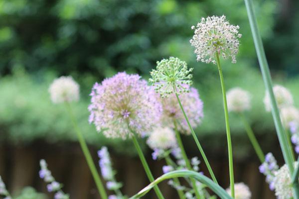 Blühende Gartenzwiebel
