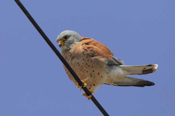 Rötelfalke (Falco naumanni), Männchen