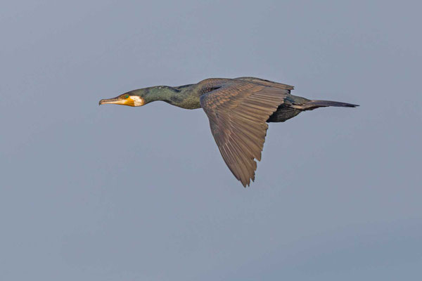 Kormoran (Phalacrocorax carbo) im Flug
