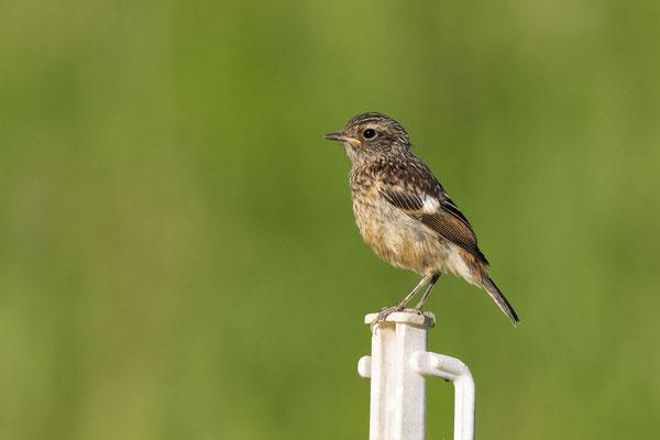 Schwarzkehlchen (Saxicola rubicola rubicola), Jungvogel