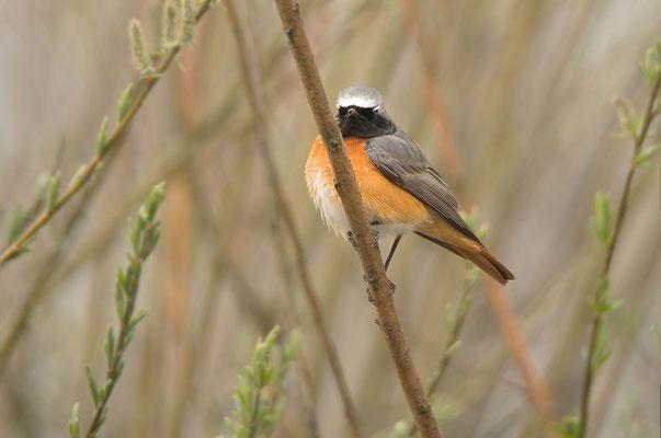 Gartenrotschwanzz (Phoenicurus phoenicurus), Männchen. Foto: Viola Wege