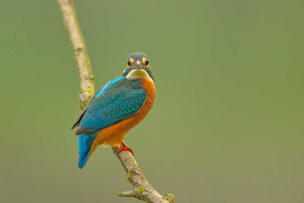Eisvogel (Alcedo atthis), Weibchen