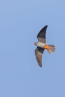 Männlicher Rotfußfalke (Falco vespertinus) Flugbild