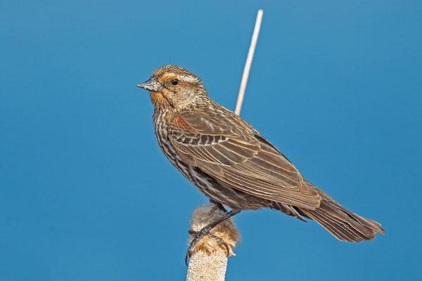 Rotflügelstärling (Agelaius phoeniceus), Weibchen