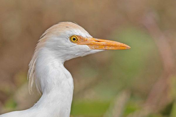 Kuhreiher (Bubulcus ibis) im Portrait