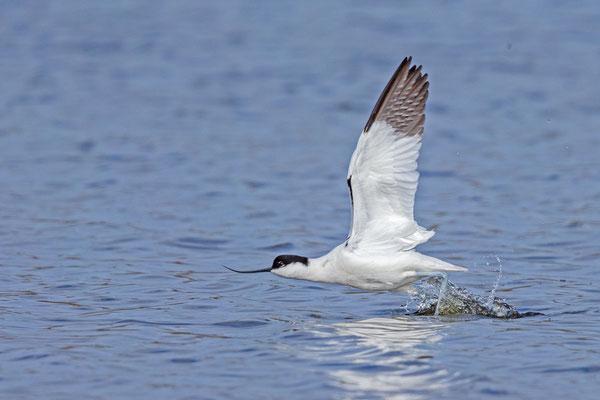 Säbelschnäbler (Recurvirostra avosetta), Flügelunterseite.