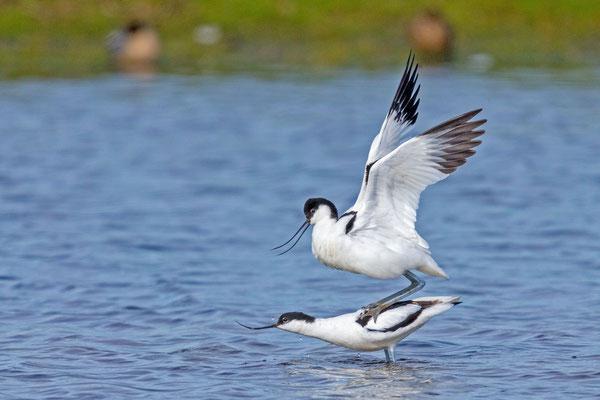 Säbelschnäbler (Recurvirostra avosetta), kopulierend.