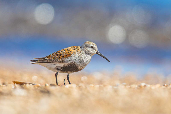 Alpenstrandläufer (Calidris alpina) im Prachtkleid
