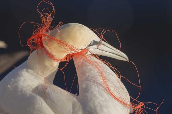 Basstölpel (Morus bassanus) der sich im Plastik eines Fischernetzes verfangen hat.