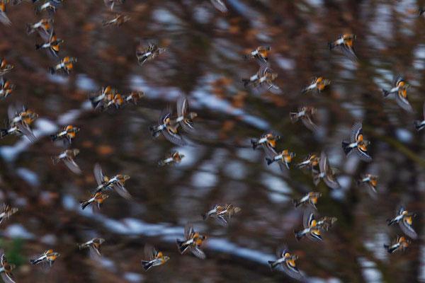 Bergfink (Fringilla montifringilla), Schwarm bei Haiger