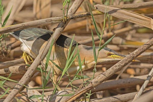 Zwergdommel (Ixobrychus minutus) im Schilf versteckt