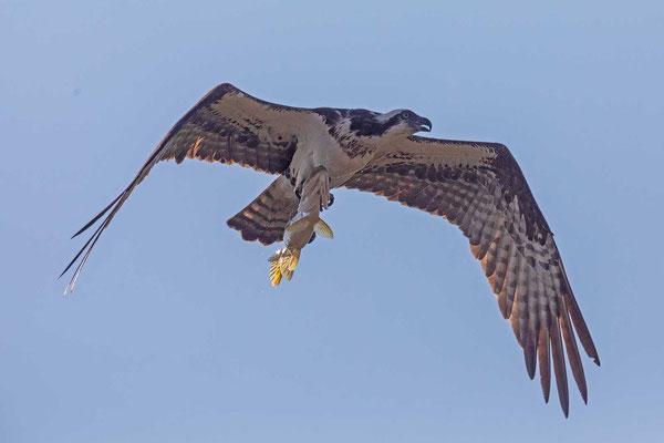 Amerikanischer Fischadler (Pandion haliaetus carolinensis)