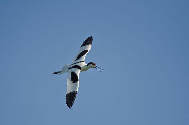 Säbelschnäbler (Recurvirostra avosetta), Foto: Viola Wege