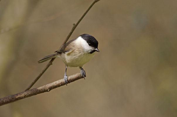 Sumpfmeise oder Nonnenmeise (Poecile palustris); Foto: Viola Wege