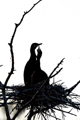 Kormoran (Phalacrocorax carbo), Paar im Nest
