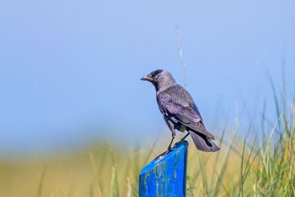 Dohle (Corvus monedula)