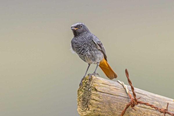 Hausrotschwanz (Phoenicurus ochruros gibraltariensis), Männchen