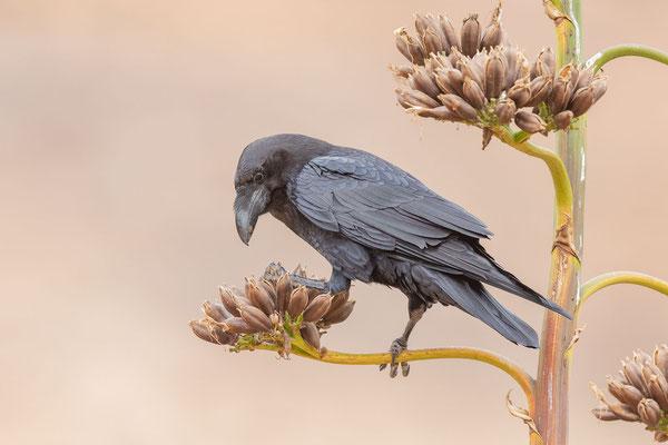 Kolkrabe (Corvus corax canariensis)