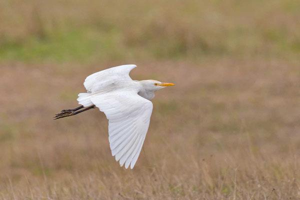 Kuhreiher (Bubulcus ibis) im Flug