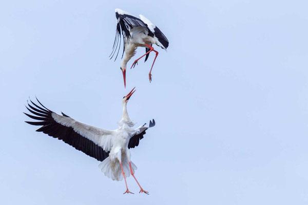 Zwei Weißstorch (Ciconia ciconia) im Luftkampf