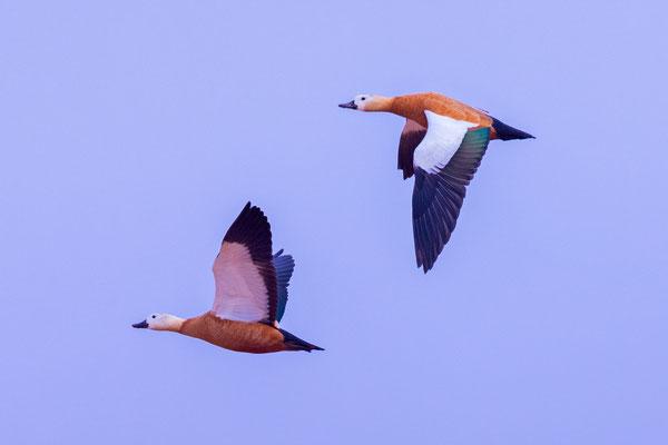 Rostgans (Tadorna ferruginea) im Flug