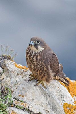 Eleonorenfalke (Falco eleonorae)