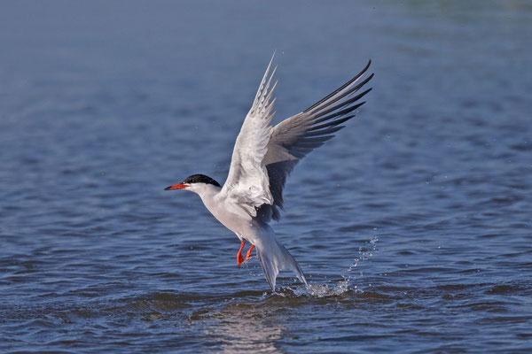 Flussseeschwalbe (Sterna hirundo) auffliegend auf der niederländischen Insel Texel.
