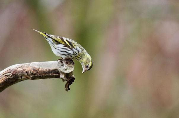 Erlenzeisig (Spinus spinus) Weibchen ; Foto: Viola Wege