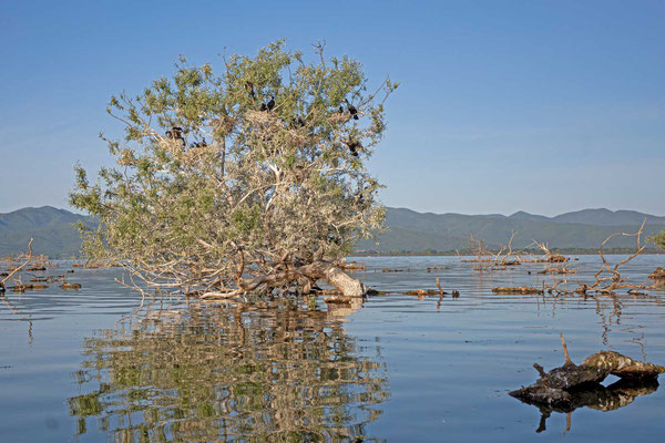 Nistbaum einer Kormorankolonie (Phalacrocorax carbo)