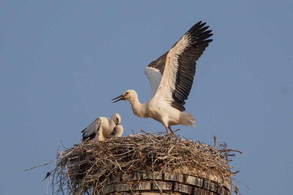 Junger Weißstorch (Ciconia ciconia) im Nest bei Flugversuchen