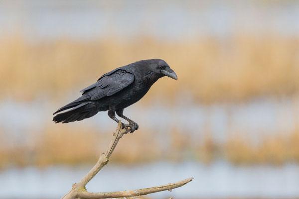 Kolkrabe (Corvus corax corax)