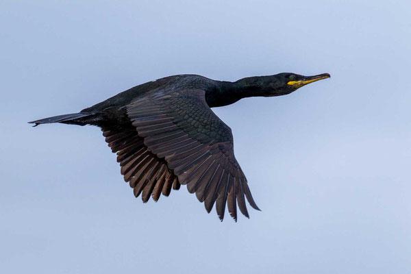 Krähenscharbe (Phalacrocorax aristotelis) im Flug