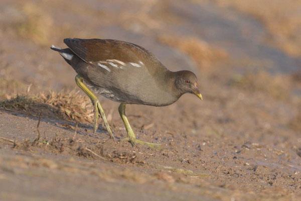 Teichhuhn (Gallinula chloropus), Jungvogel