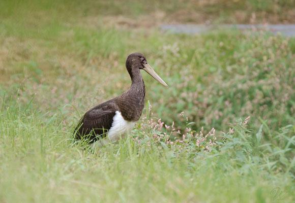 Junger Schwarzstorch (Ciconia nigra), Foto: Viola Wege