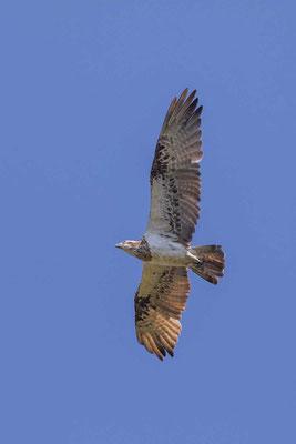 Östlicher Fischadler (Pandion cristatus)