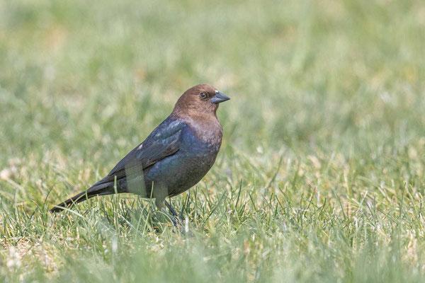 Braunkopf-Kuhstärling (Molothrus ater), Männchen