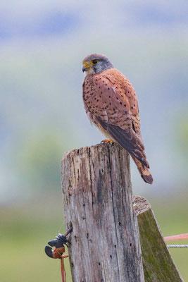 Turmfalke (Falco tinnunculus9