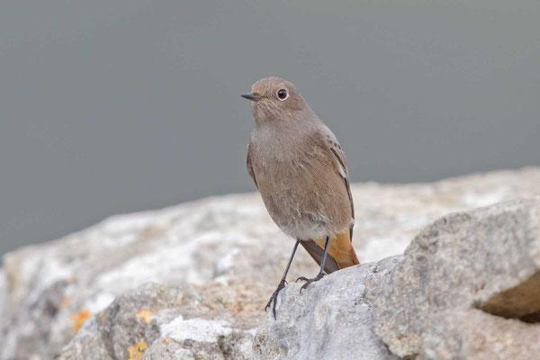 Hausrotschwanz (Phoenicurus ochruros gibraltariensis), Weibchen