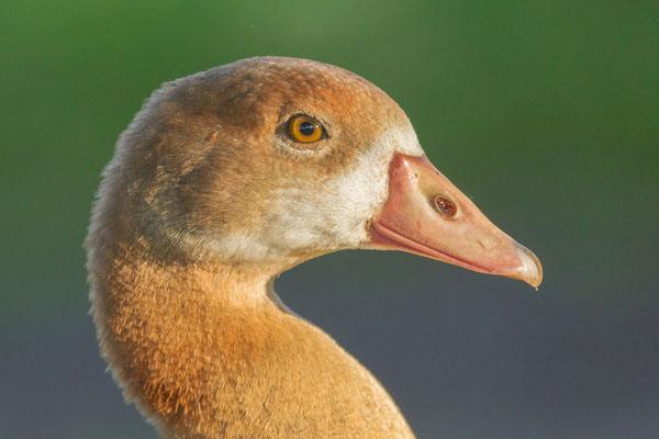 Nilgans (Alopochen aegyptiaca), Jungvogel